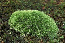 Pin Cushion Moss