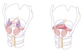 A rear-view illustration of the glottis, the space created by opening and closing the vocal chords: on the left, the vocal folds are open, and on the right, the vocal folds are closed