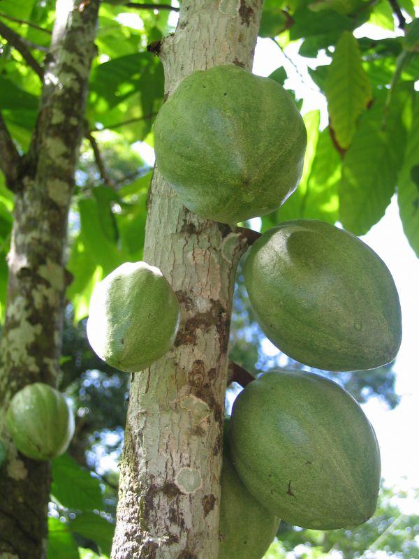 Cacao Tree (Theobroma spp), Brazil
