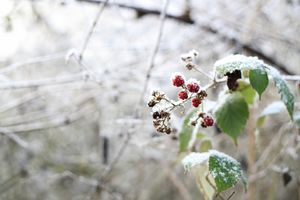 Frozen wild berries in the forest