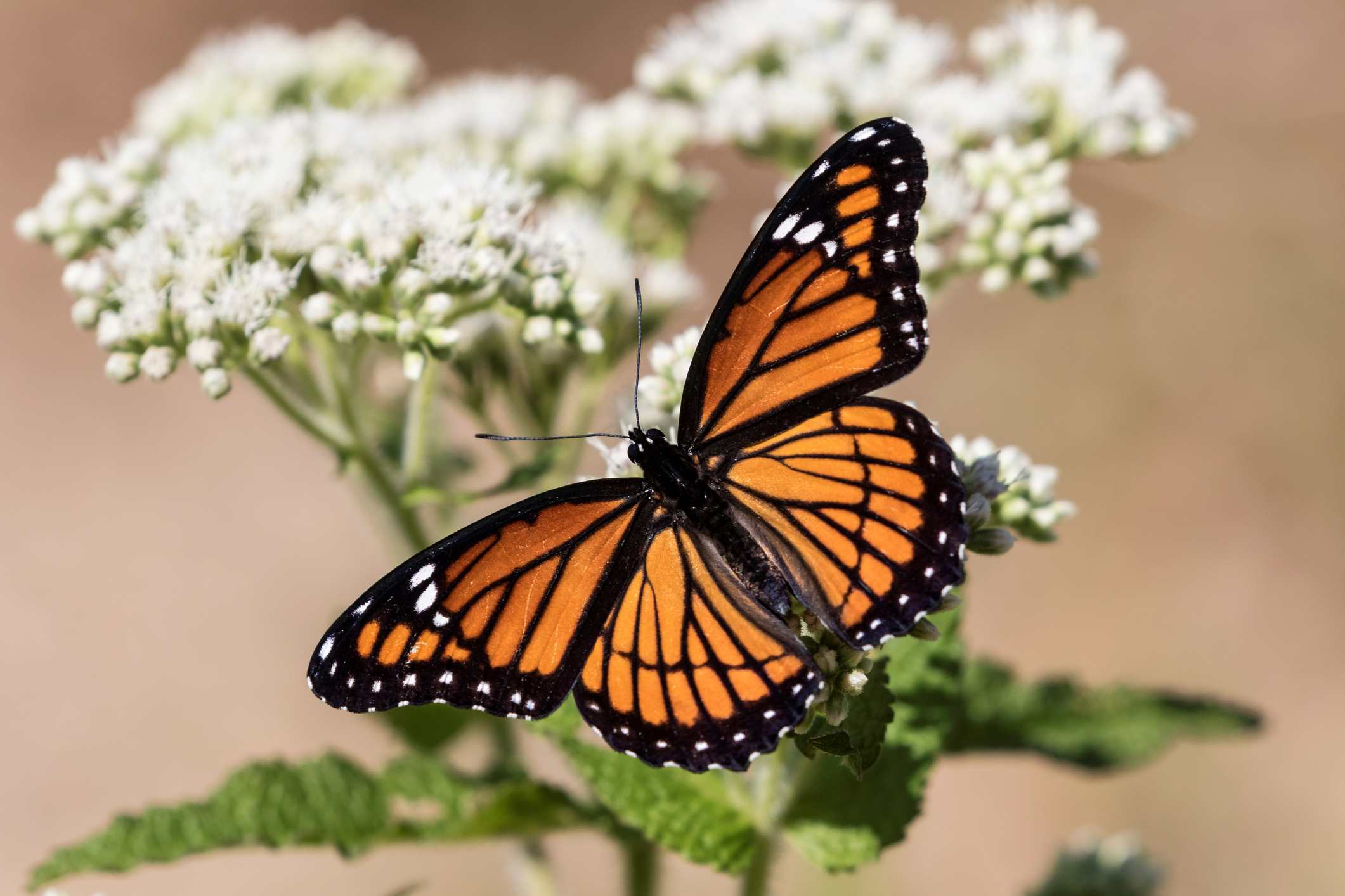 A Viceroy butterfly pauses on a wildflower, spreading its wings.