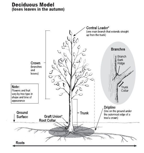 A quick lesson on how a tree grows tree parts and growth ccuart Image collections