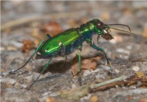 An iridescent green ground beetle larvae feeds on a garden pest