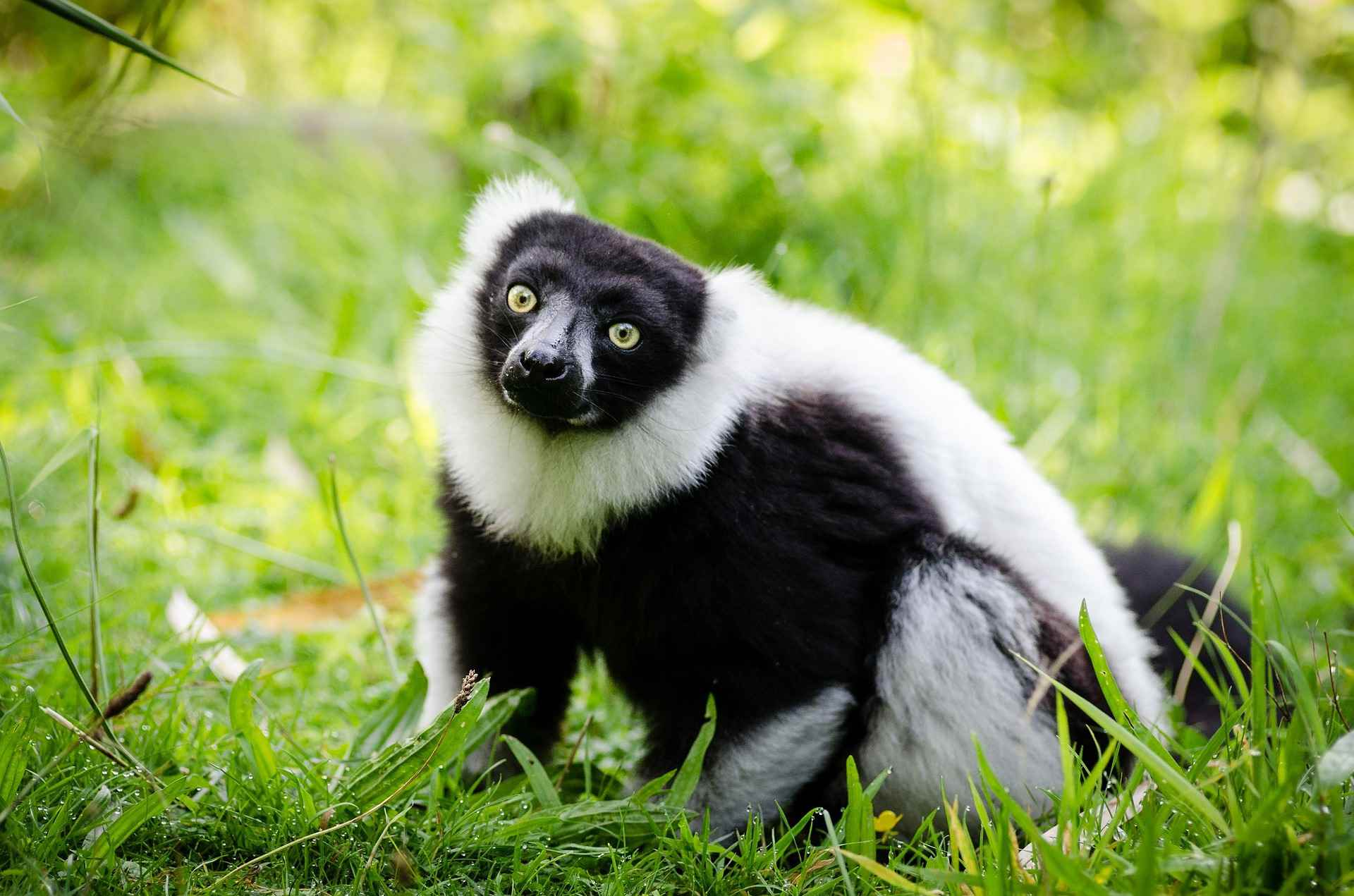 Indri sitting in the grass staring at the camera.