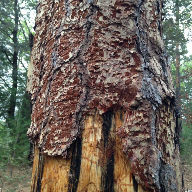 tree damage done by western pine beetle