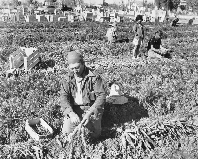 Photo of Bracero Program workers harvesting carrots
