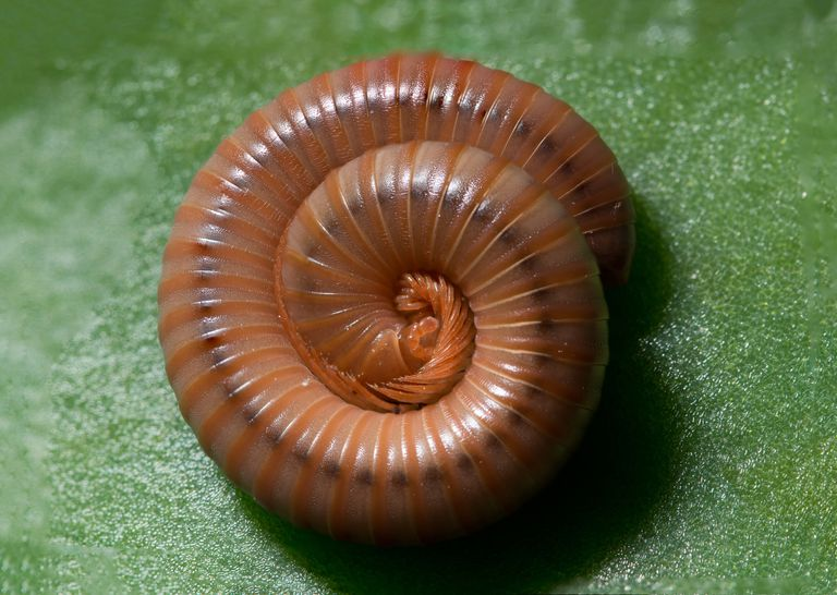 Habits and Traits of Millipedes, Class Diplopoda