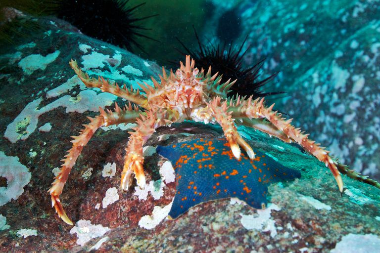 A red king crab
