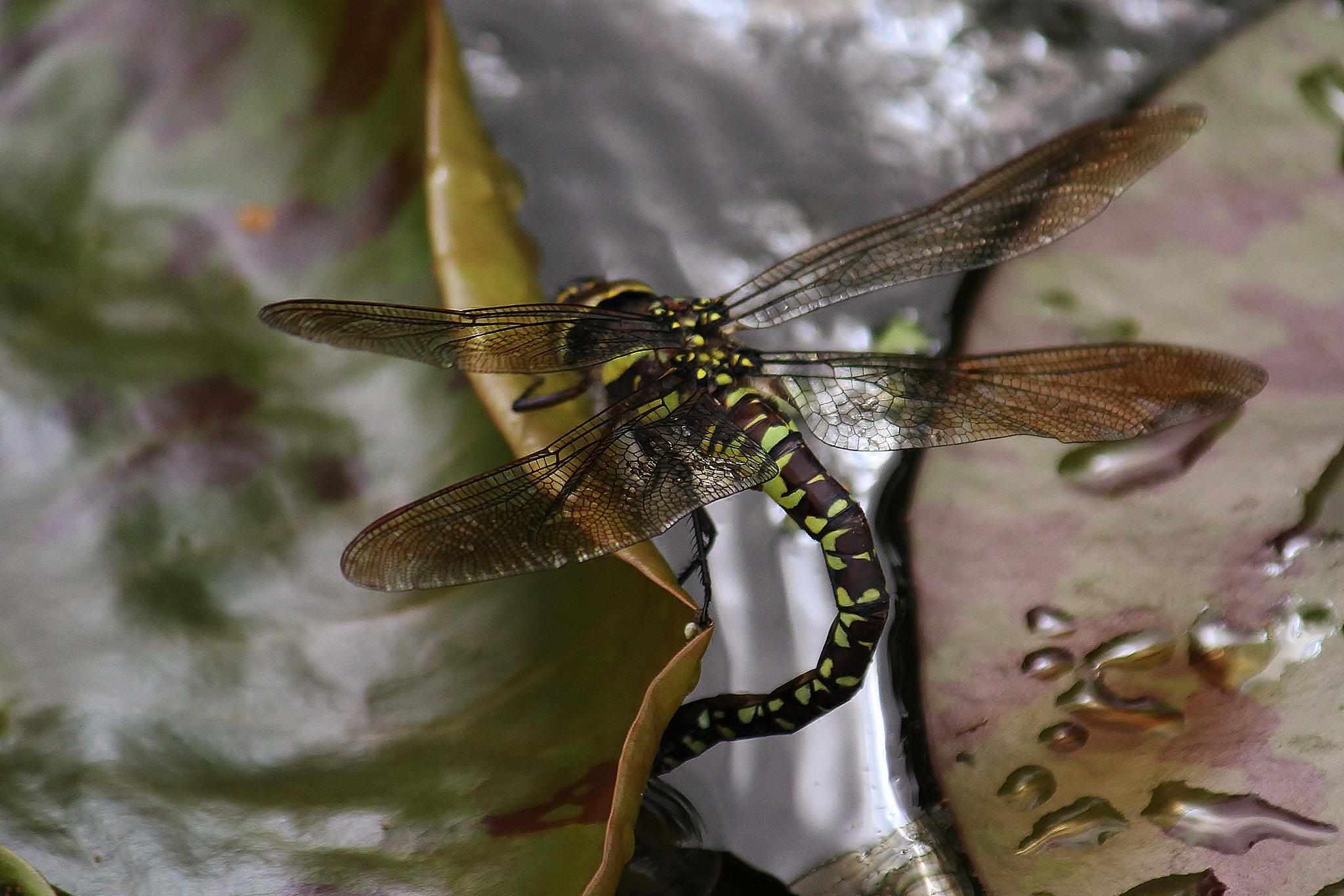 A dragonfly depositing eggs in an aquatic plant.