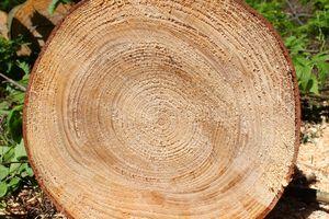 Grand Fir Tree Cookie