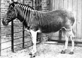 Quagga (Equus quagga quagga) is an extinct sub-species of zebra. Mare, London, Regent's Park ZOO.