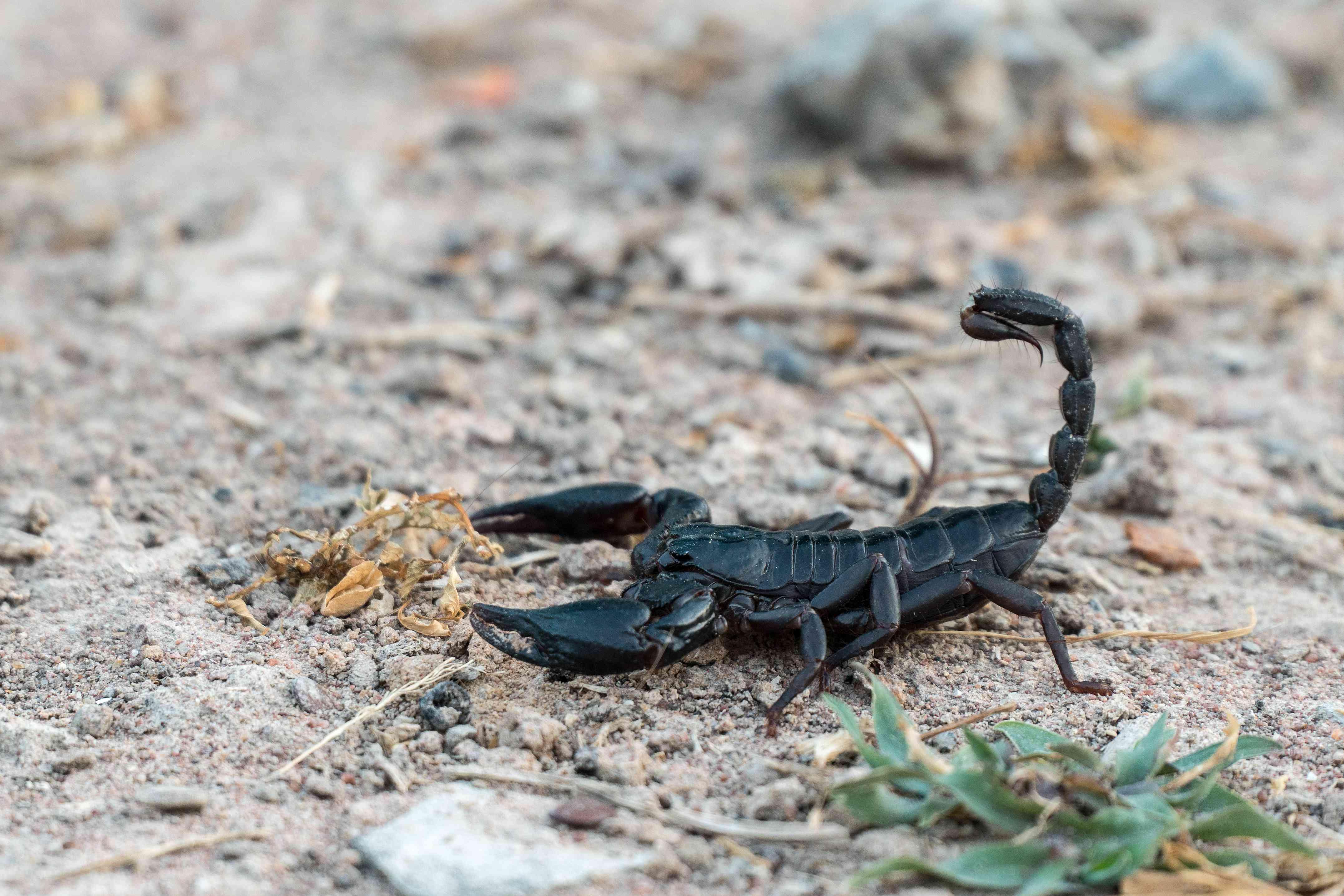 Black scorpion walking across sandy ground.