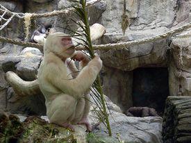 white gorilla in Barcelona zoo