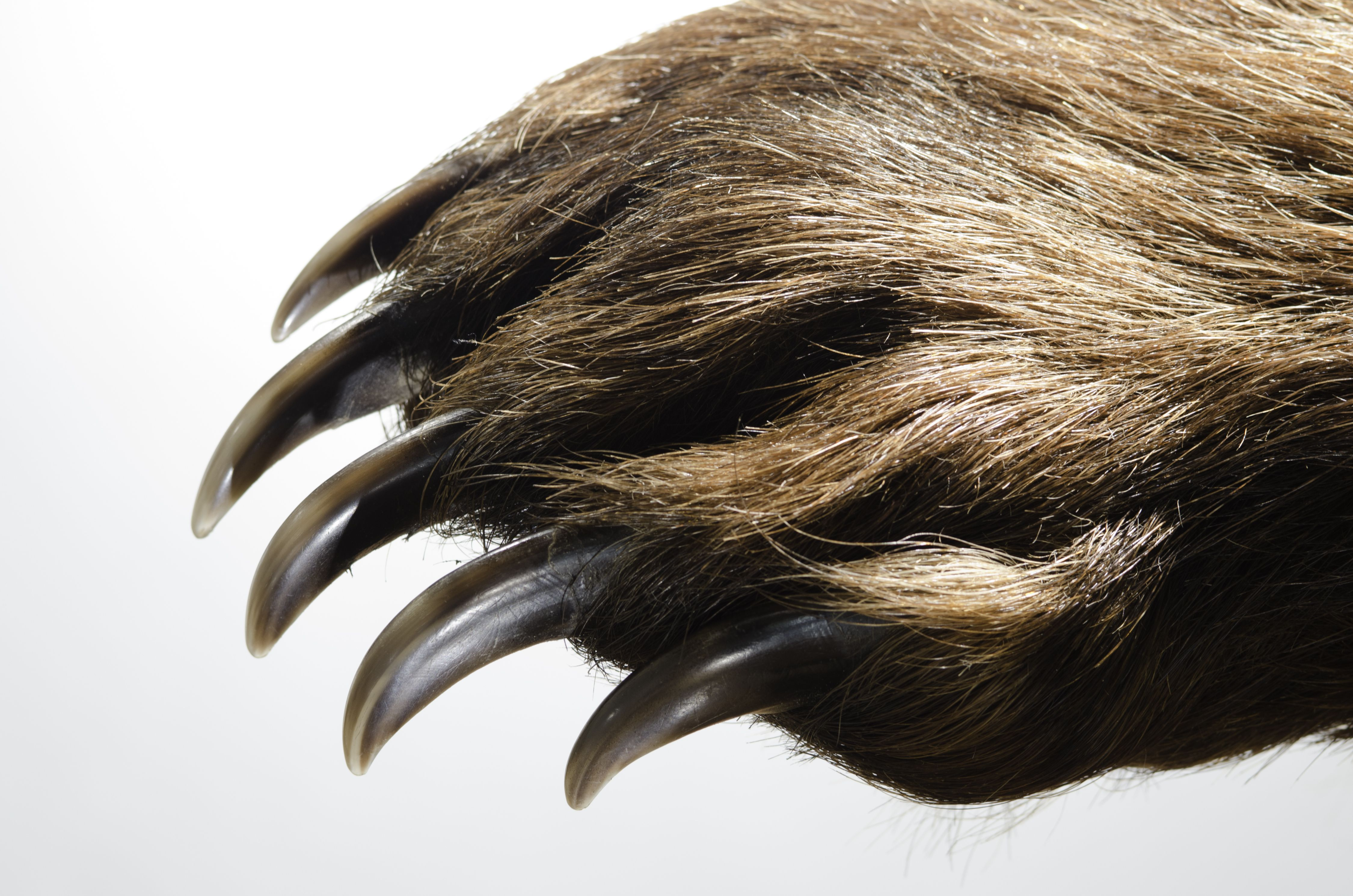 Brown bear claws are adapted for digging, not for climbing trees.