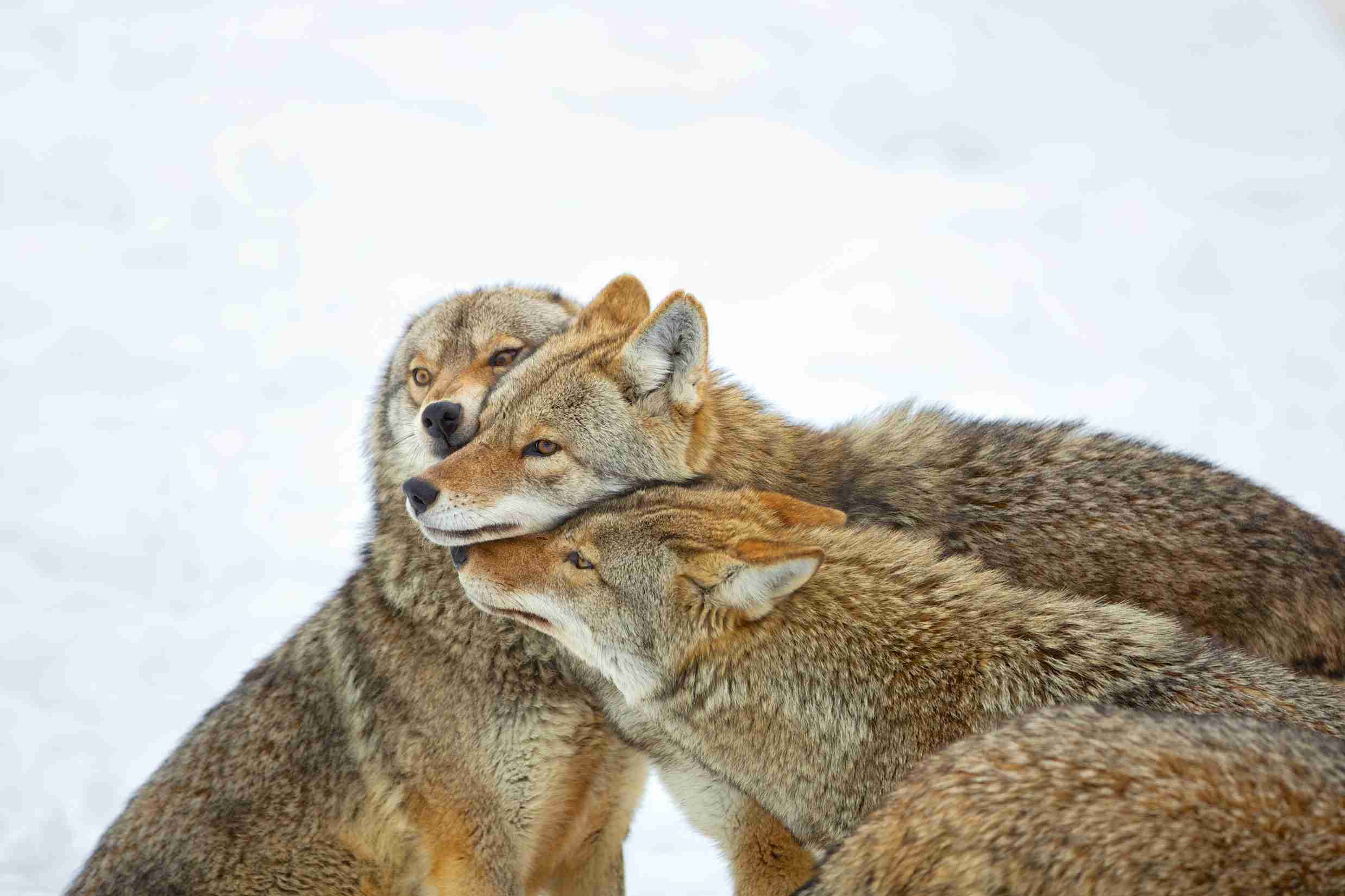 Coyotes are not as social as wolves, but they will act cooperatively to hunt and raise offspring.