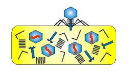 Bacteriophage Infecting a Bacterial Cell - 4