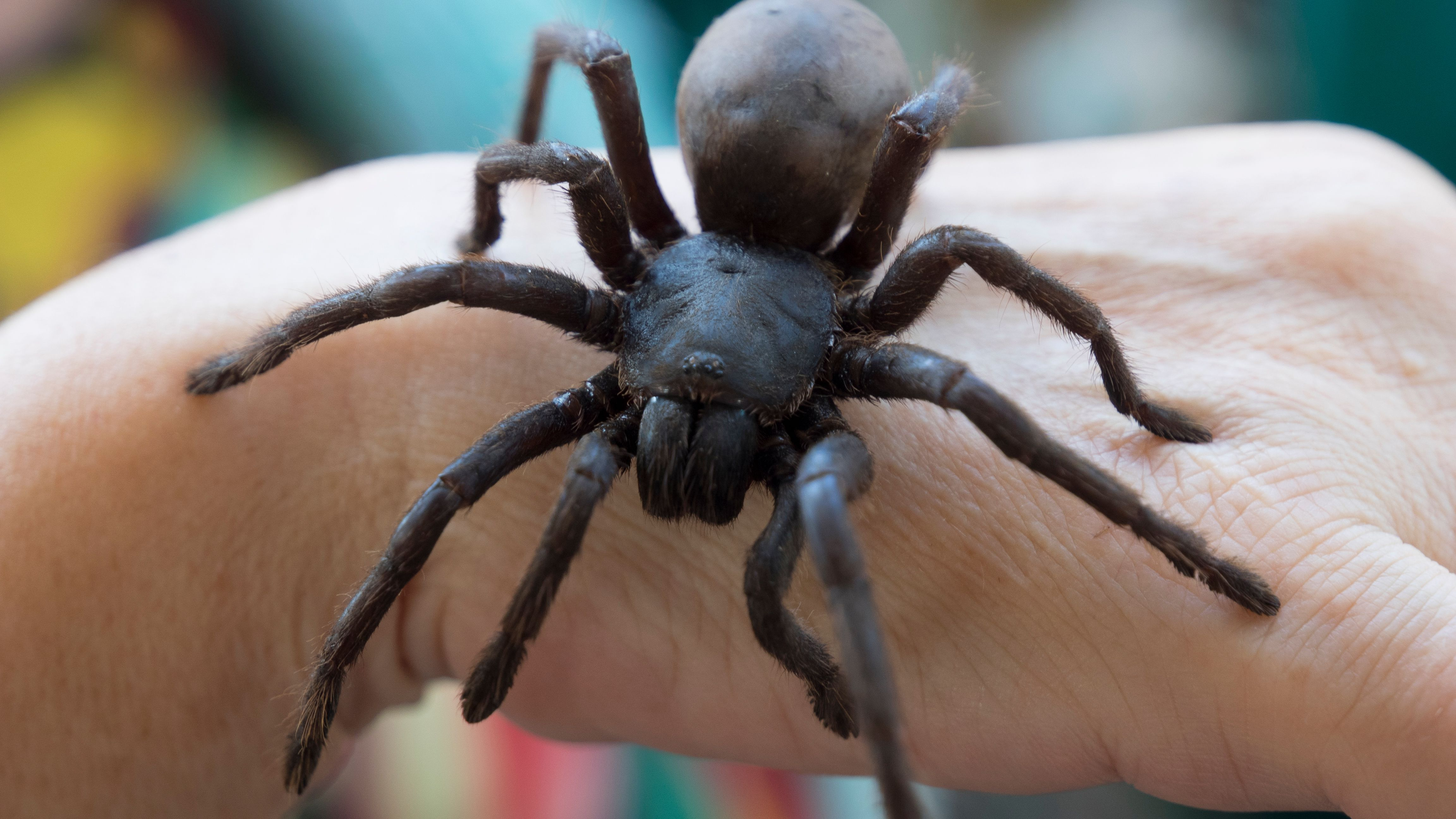 where are camel spiders found