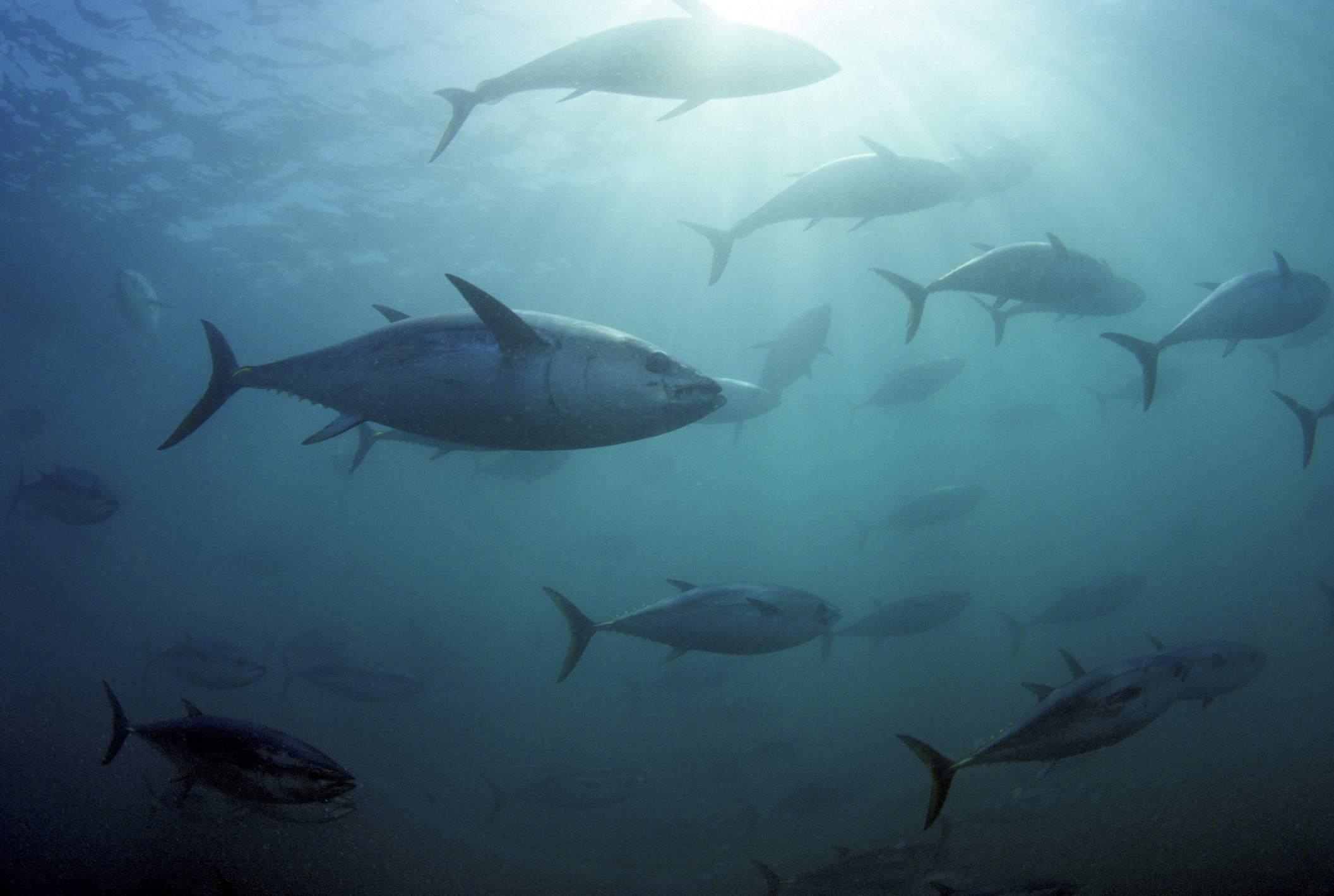Southern Bluefin Tuna (Thunnus Maccoyii) Circle In A Holding Pen.