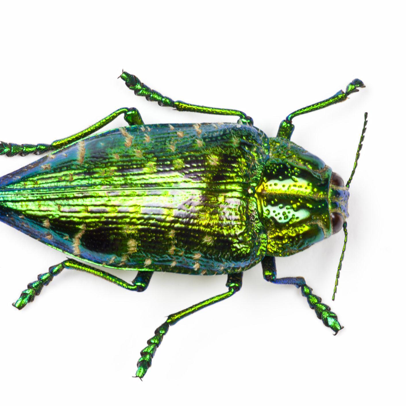 Jewel Beetles: Life Cycle, Habits, and Traits