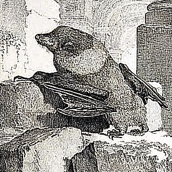 Dark flying fox