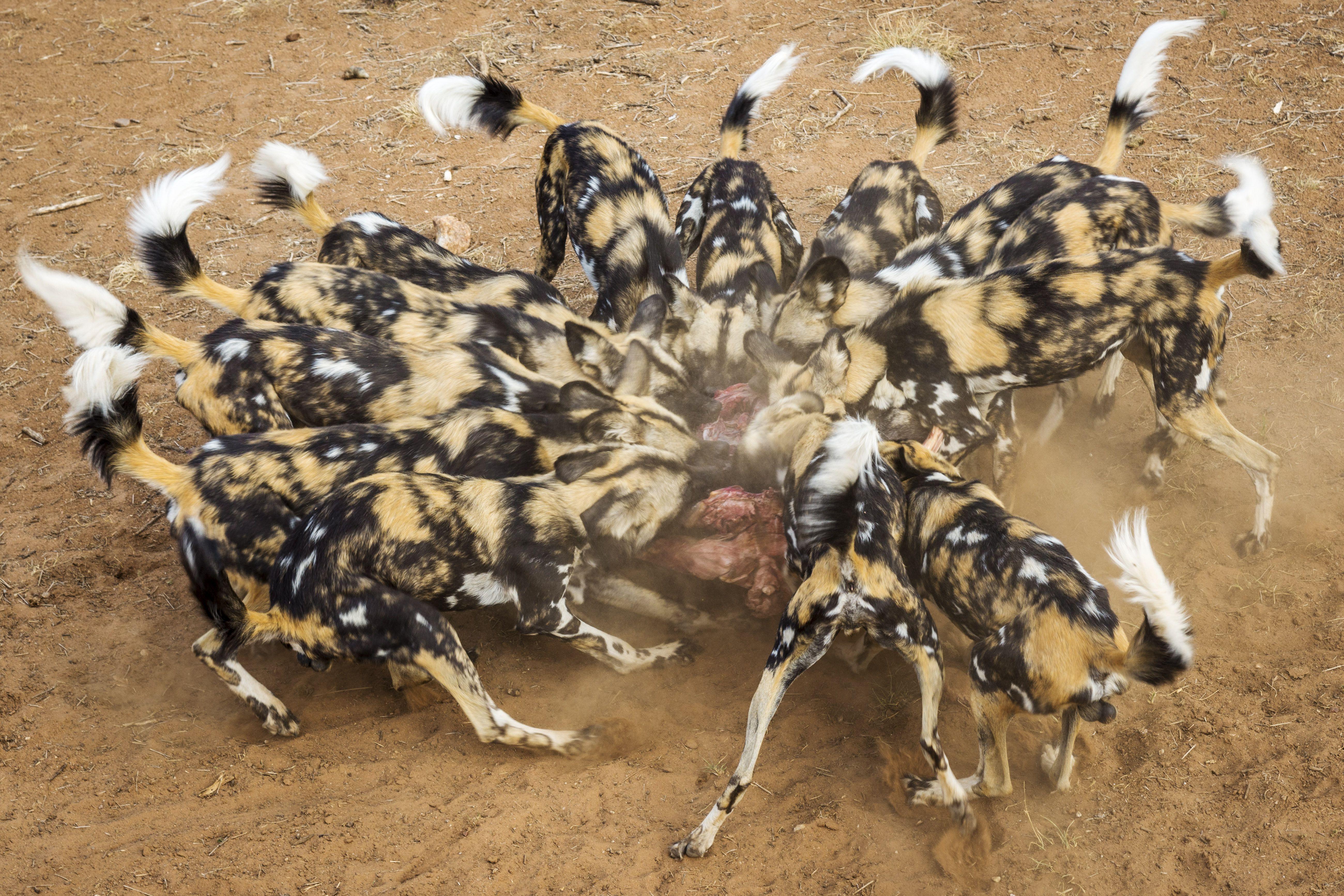 African Wild Dog Facts: Diet, Behavior, Habitat