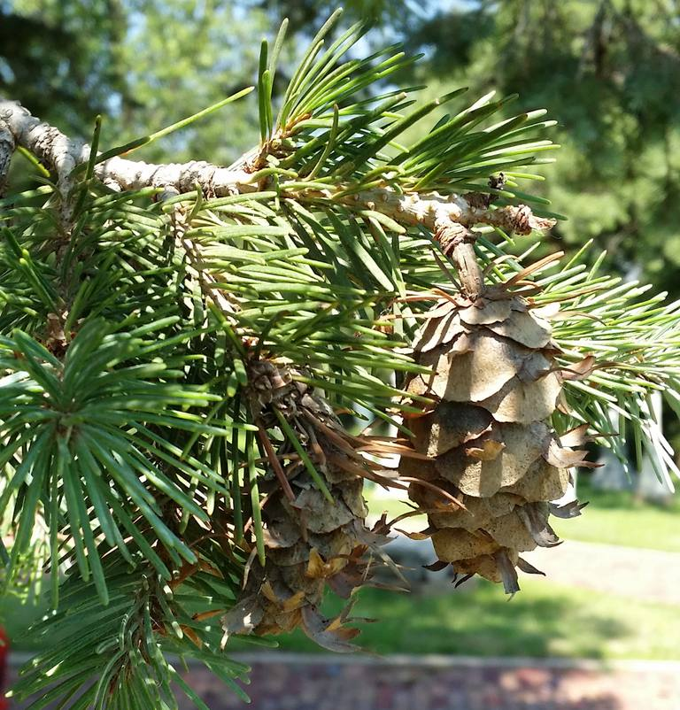 cone and needles of Douglas fir