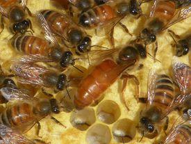 Honey bee queen with workers in attendance.