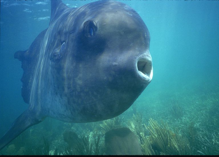 Close up of Mola Mola, a Ocean Sunfish