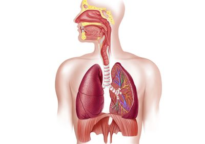 The function anatomy and respiration of the lungs respiratory system and how we breathe ccuart Choice Image