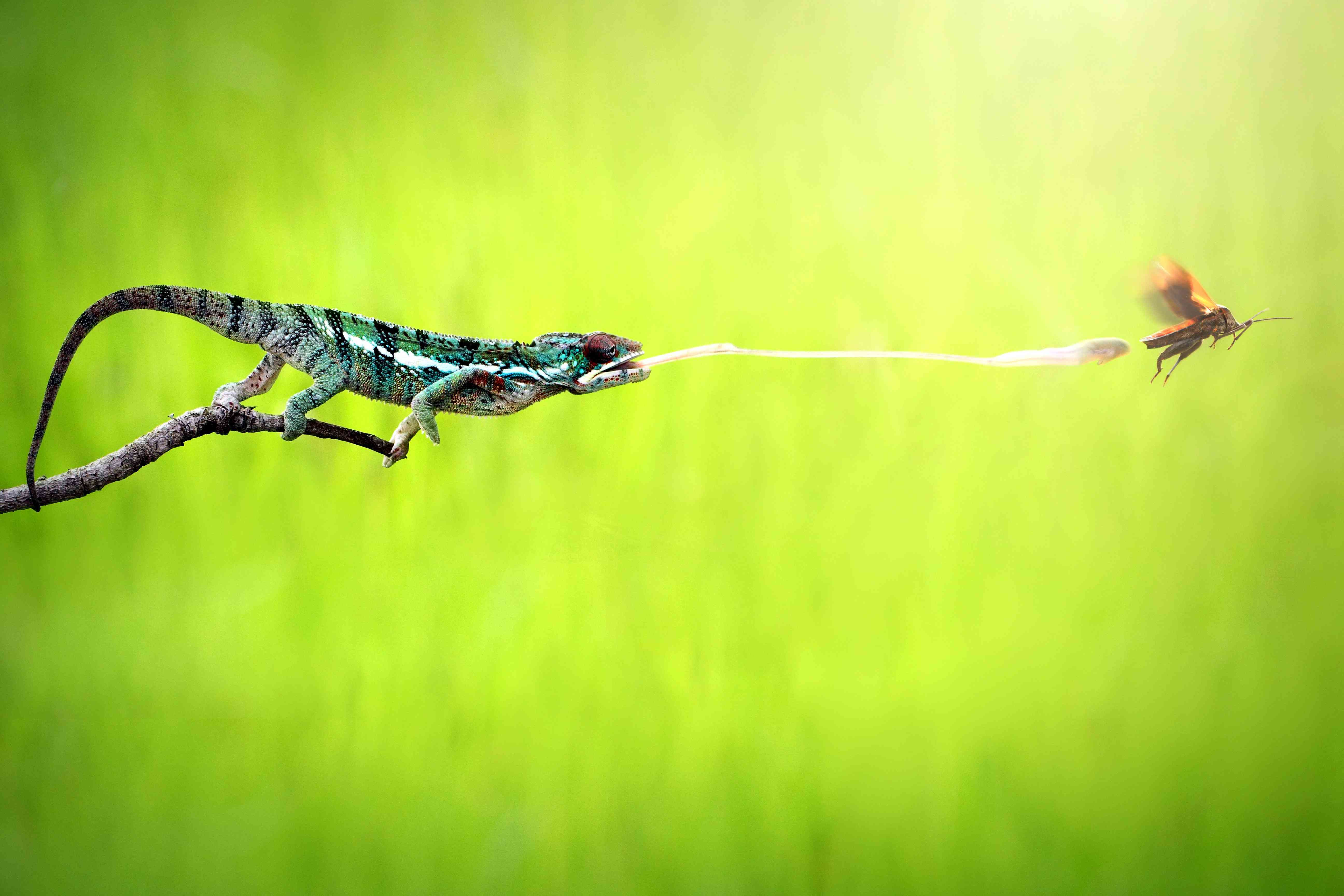 A hunting chameleon shoots its tongue at a bug in Indoneisa