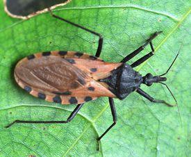 Kissing bug.