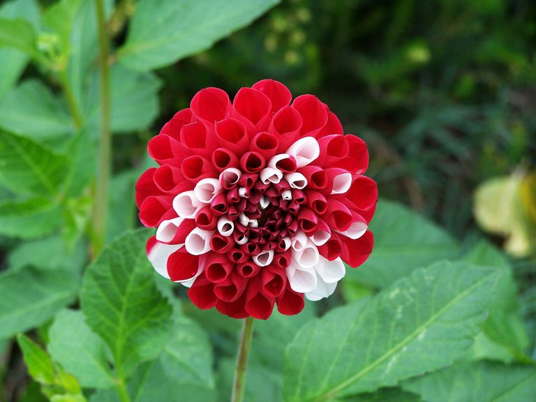 Red and white pom pom dahlia