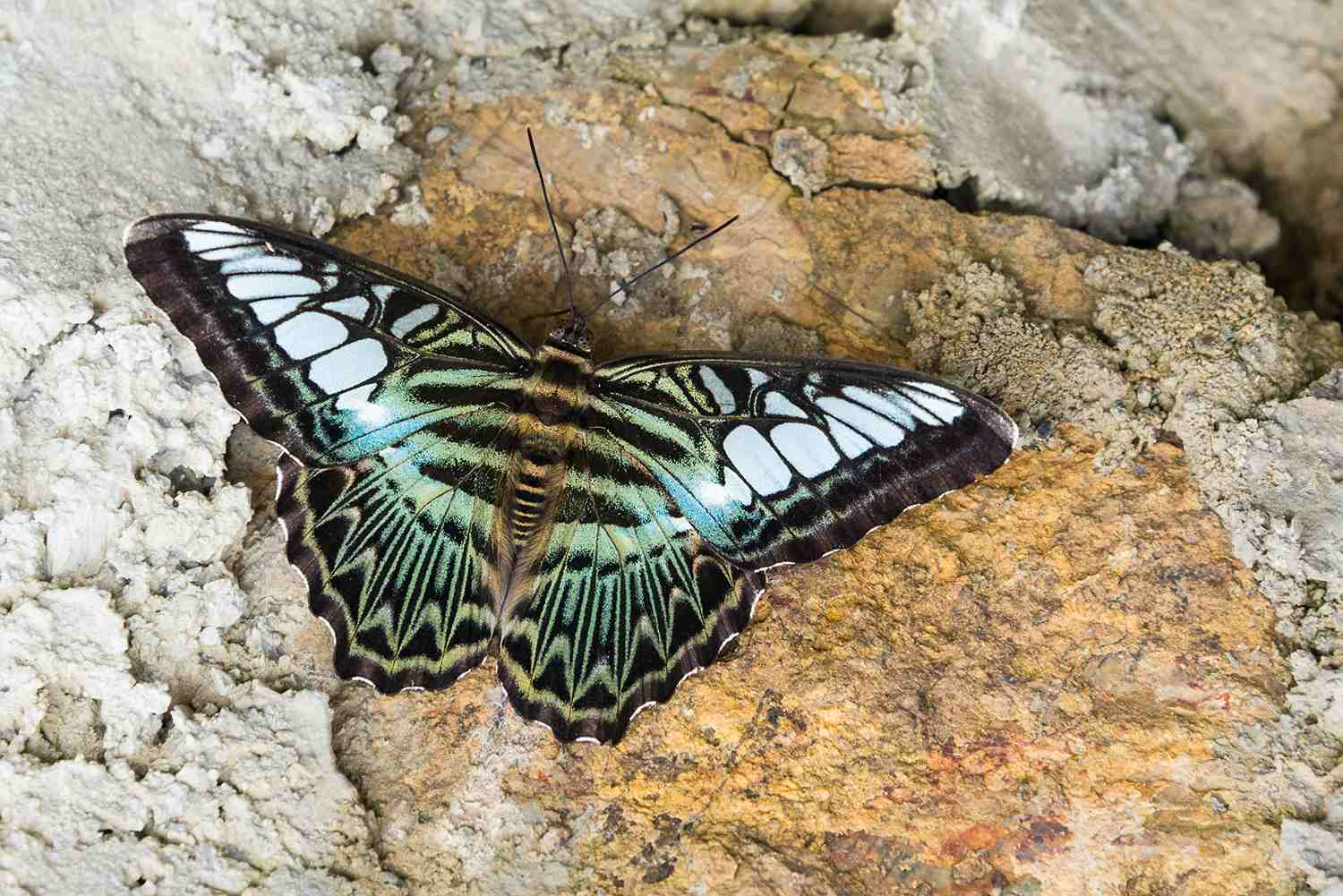 Close up of the Clipper Butterfly