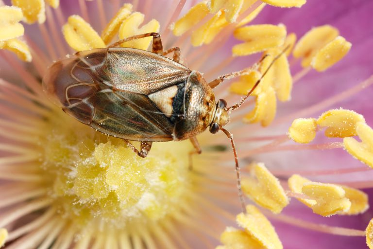 Tarnished plant bug.