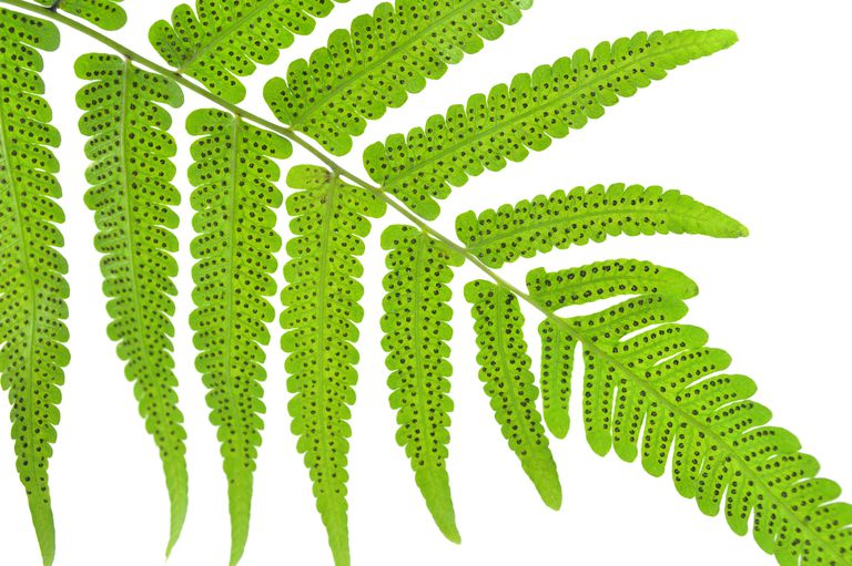 An adult fern produces spores.
