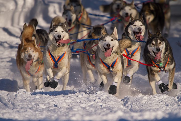 Iditarod race in progress