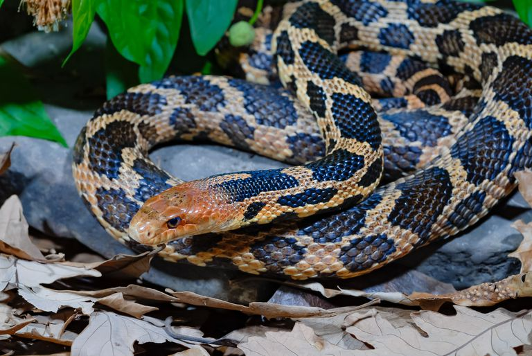 Fox Snake Facts