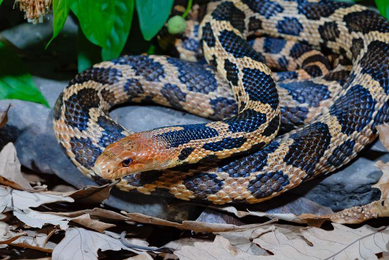 Eastern fox snake