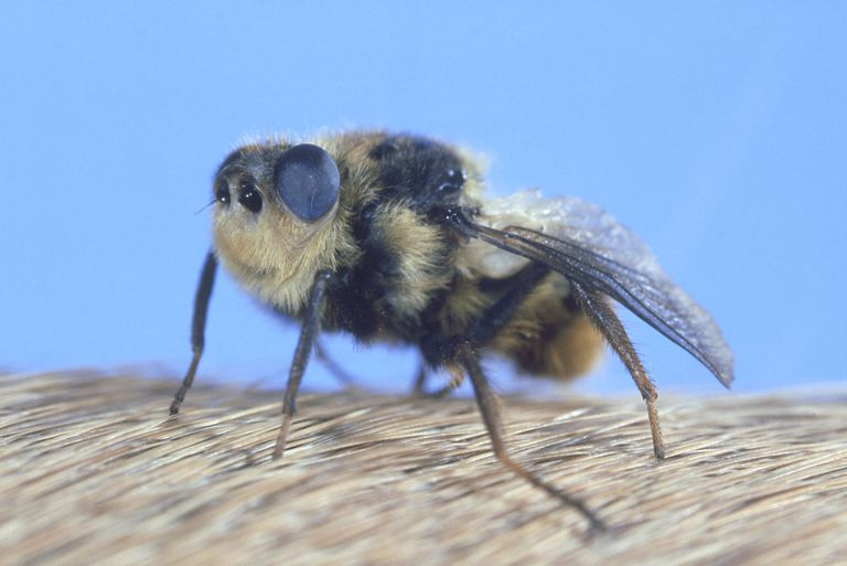 Botfly Facts and Tips for Removal