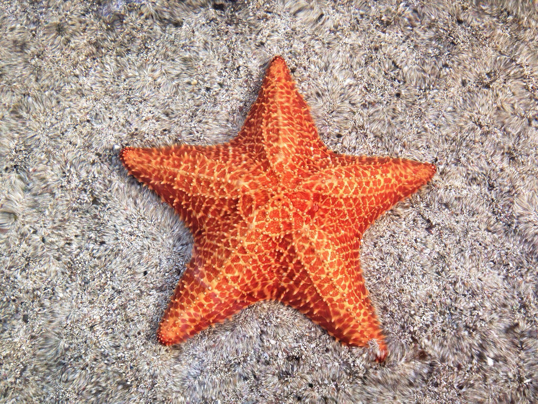 starfish a sea animal