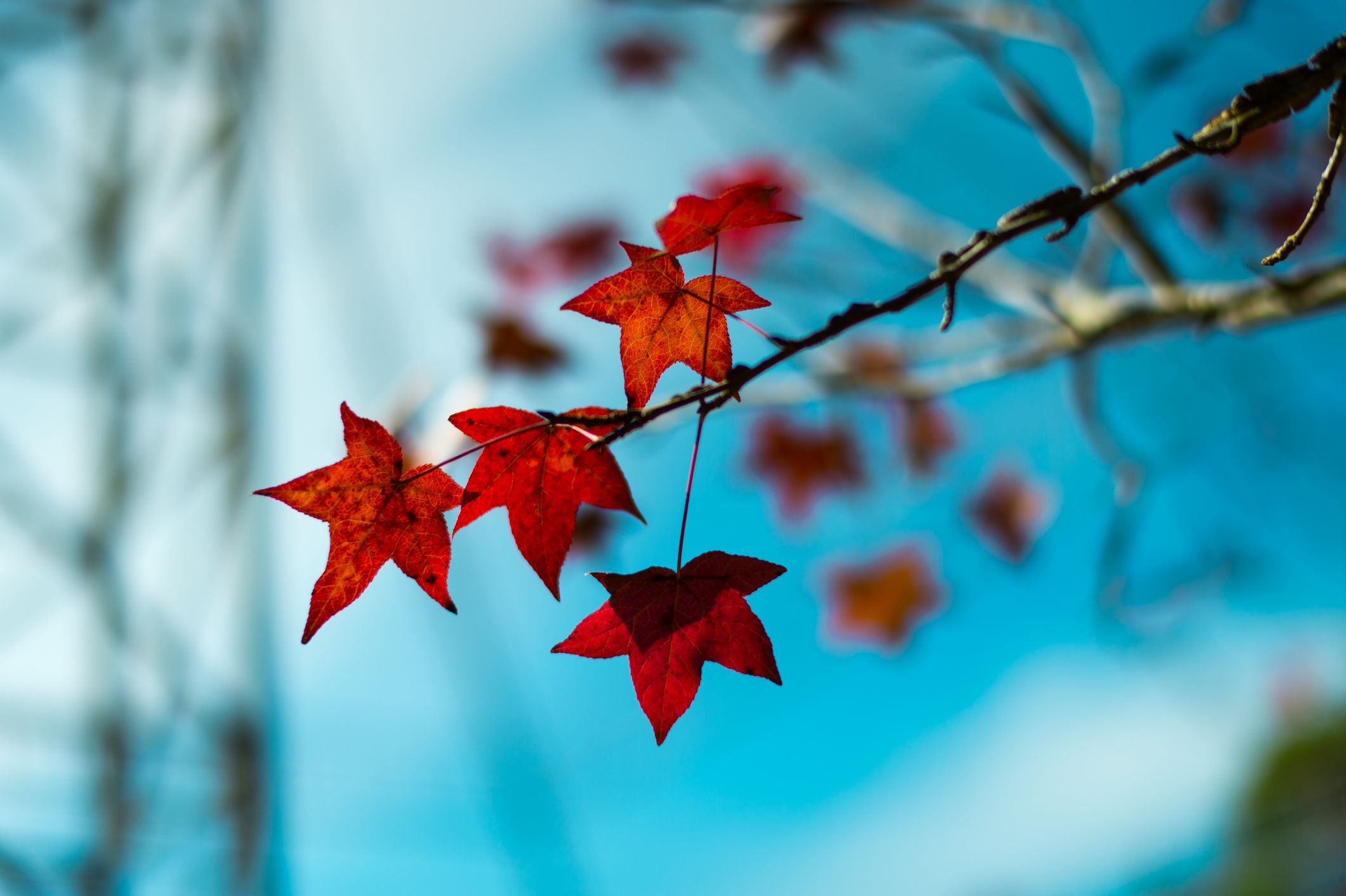 How To Identify Maple Sycamore And Sweetgum Leaves