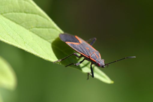 A maple bug (Boisea trivittata)
