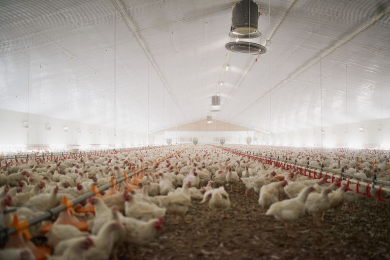 Large flock of chicken hens all together in a big warehouse on a farm