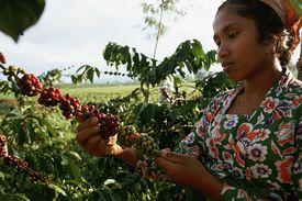 woman harvesting coffee
