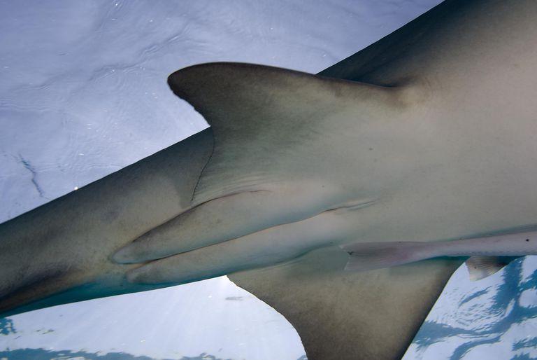 Lemon Shark male, showing claspers.