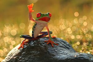 Tree frog on a rock, Indonesia