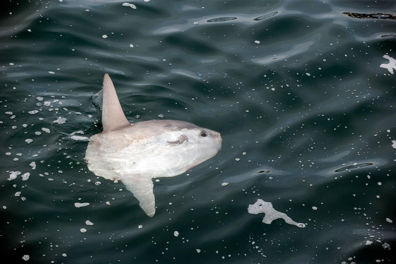 Sunfish, Mola mola, Molidae, Witless Bay Ecological Reserve, Newfoundland, Canada