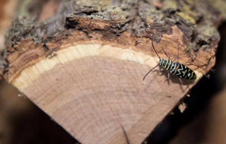 Locust borer on firewood.