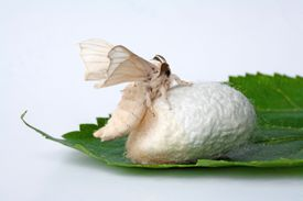 Silk Moth and Cocoon on Mulberry Leaf