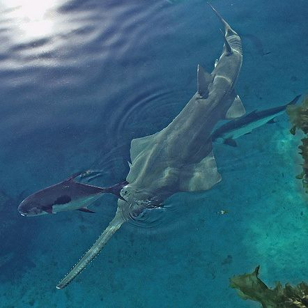 Sawfish / lotopspin, Flickr